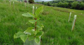 Longridge sapling